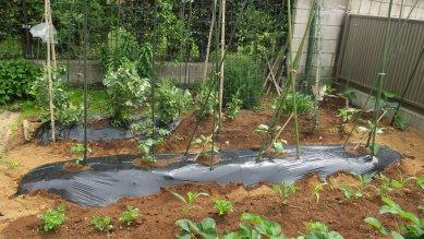 野菜畑・三畝に苗が