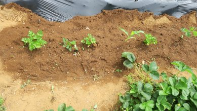 グリーンセロリとトウモロコシの苗、南京豆や枝豆の苗が混じる