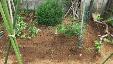 キュウリの苗と網、右は無花果の樹