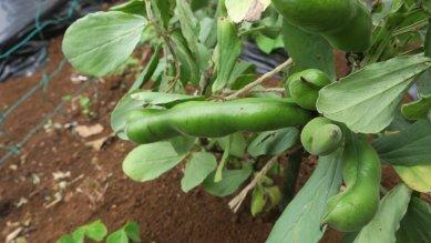 大きくなってきたか空豆の実