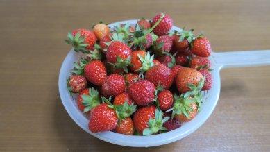 大量にイチゴが採れた
