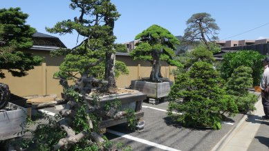 曼青園の売り物の大盆栽