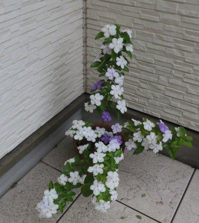 蕃茉莉咲き上がり白花増える