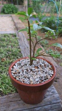 半分に切り詰め、赤玉7腐葉土3で植え付け、マルチに軽石