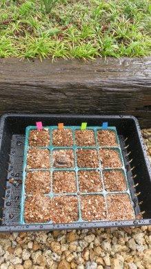 種を45度の角度で埋め込み、上に15mm程度用土をかける。潅水