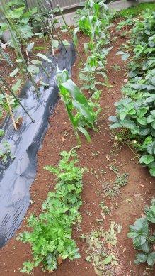 グリーンセロリ・トウモロコシの畝
