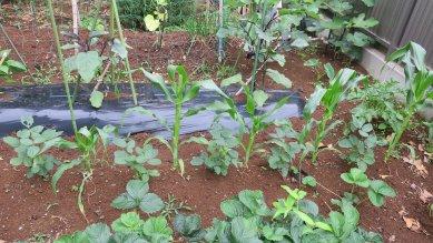 トウモロコシと枝豆