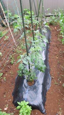 トマト・ピーマン・茄子の畝