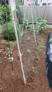 空豆が終わり、キュウリとシソの残った畝