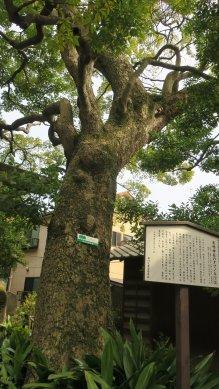鹿島神社・タブノキ