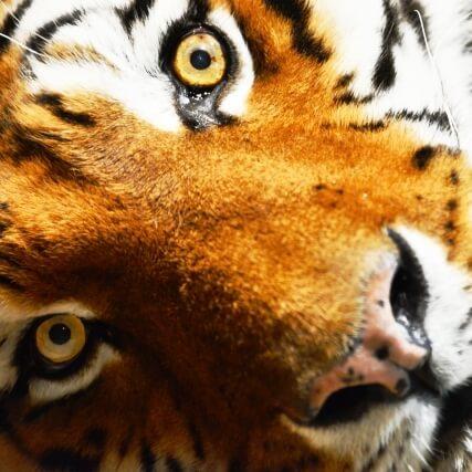 虎の威を借る