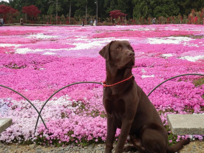 9芝桜きれいだね
