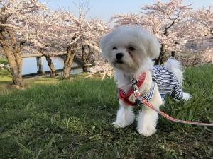 愛犬と一緒に桜