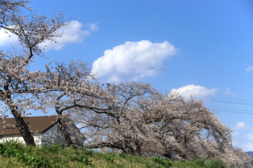 20180412磐井川の桜