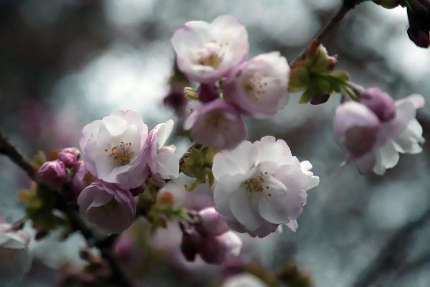 20180417春爛漫・桜