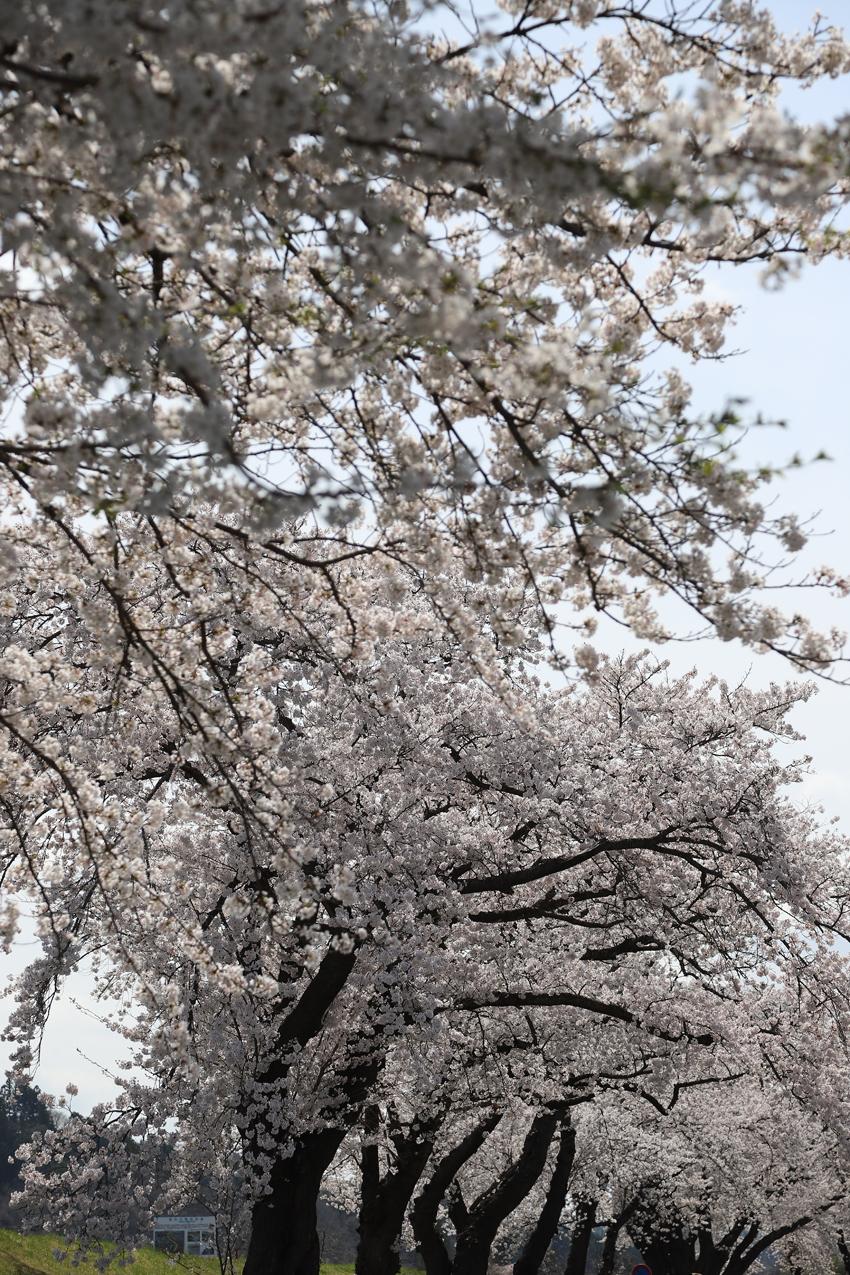20180417磐井川沿いの桜