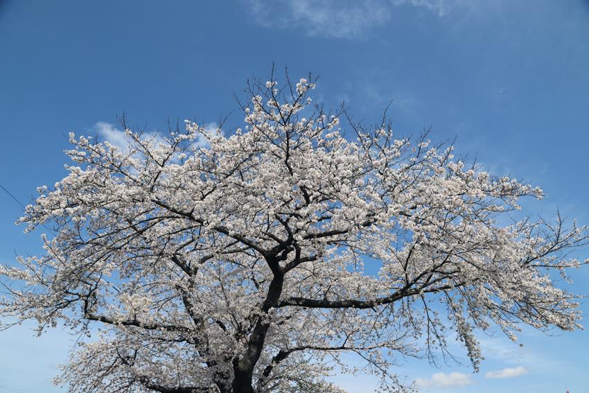 20180417磐井川沿いの桜2