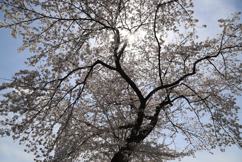 20180417磐井川沿いの桜3