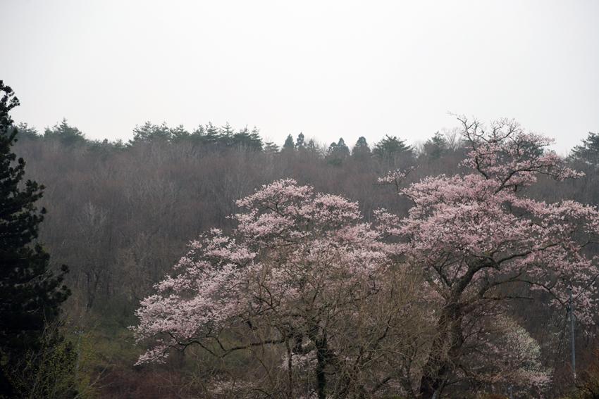 20180418春爛漫・桜