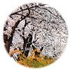 韓国 ヨイド 春祭り