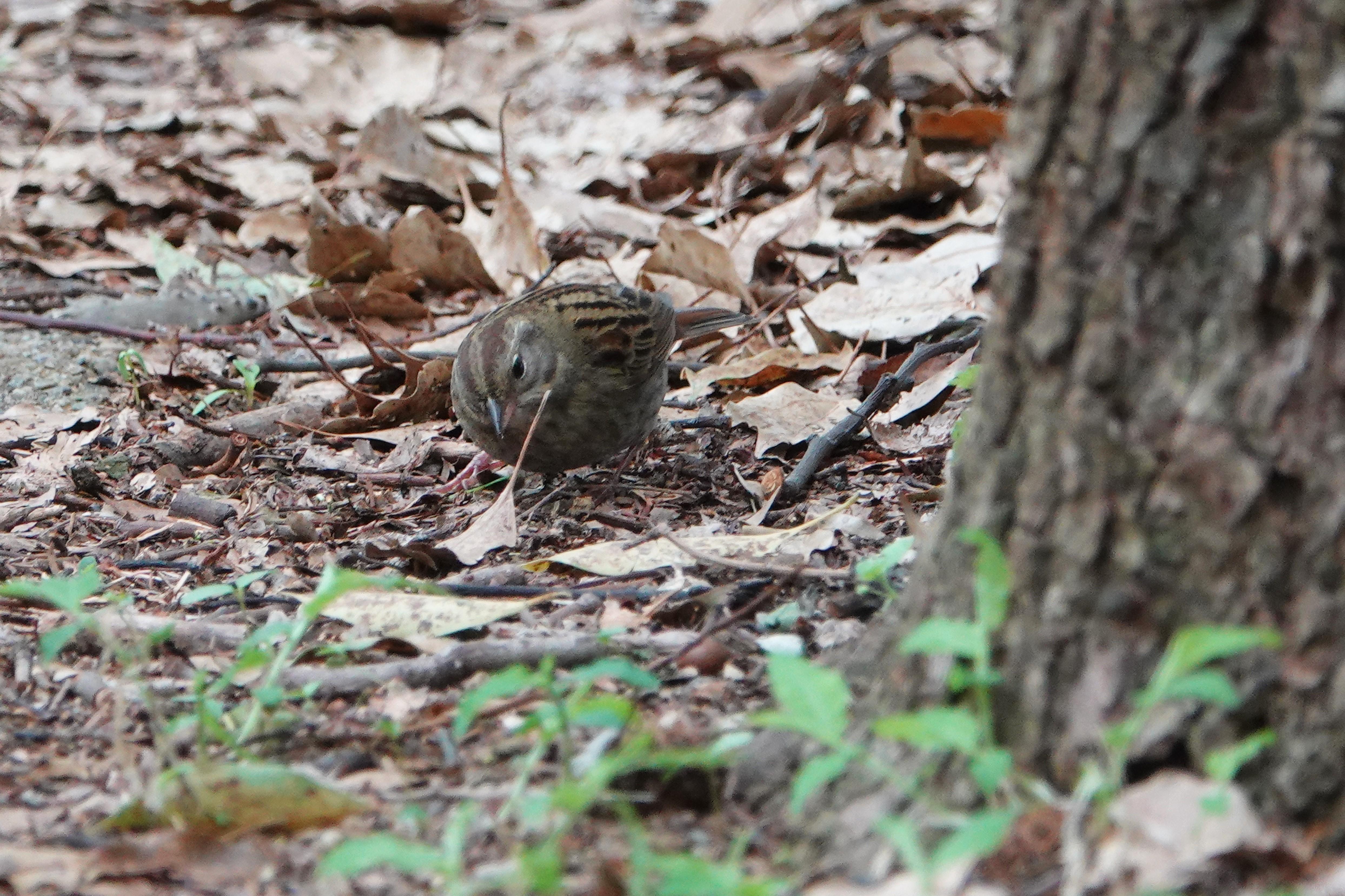 市民の森でクロジ雌2