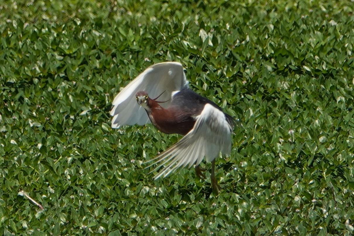 アカガシラサギ飛翔1