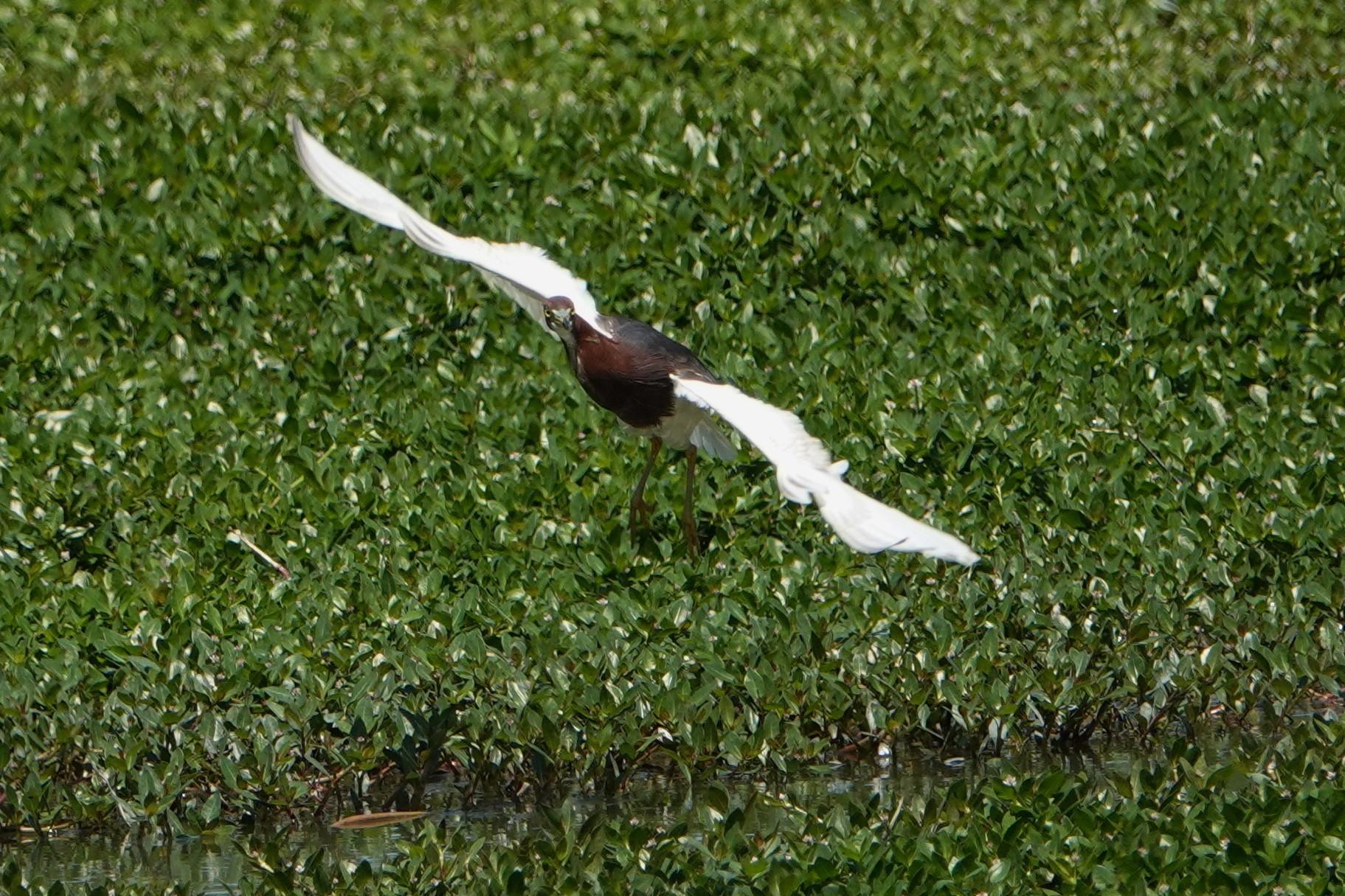 アカガシラサギ飛翔2