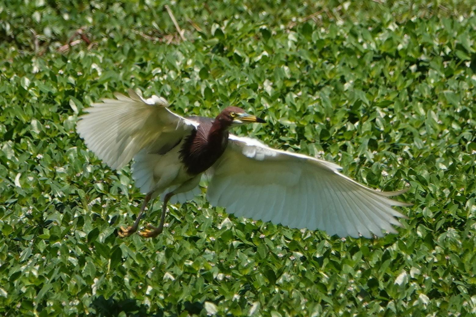 アカガシラサギ飛翔2回目1