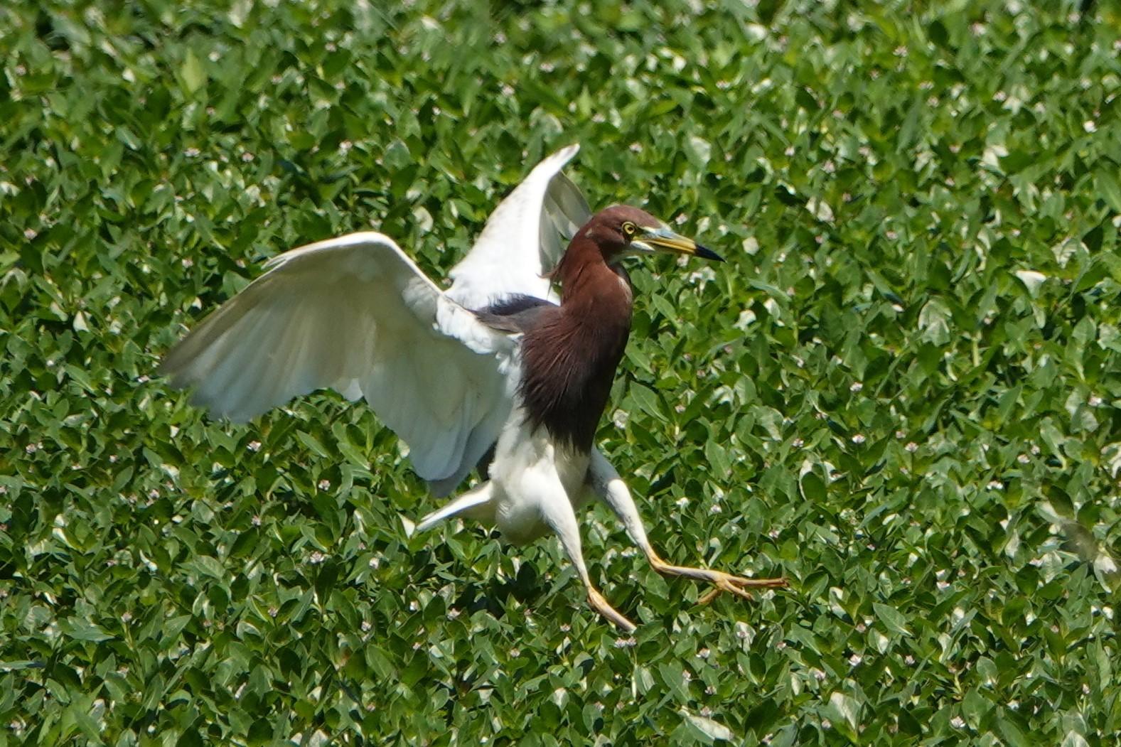 アカガシラサギ飛翔2回目3