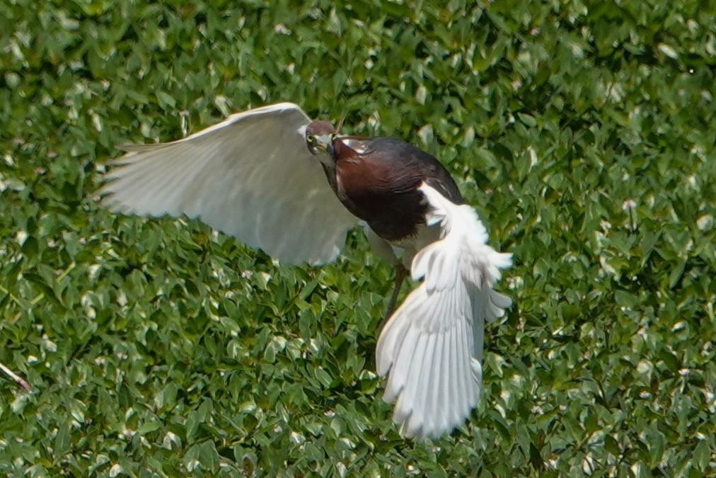 アカガシラサギ飛翔3