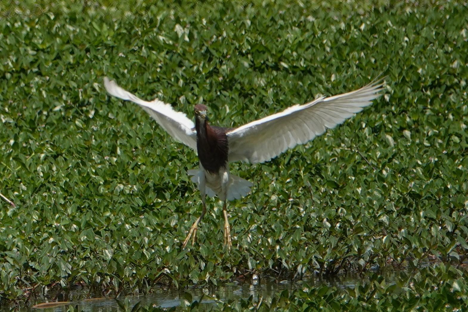 アカガシラサギ飛翔4