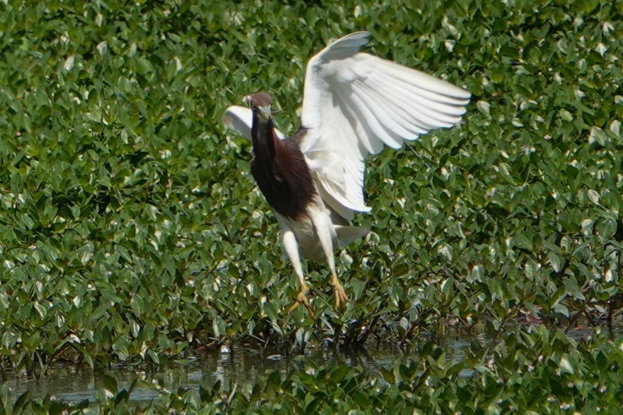 アカガシラサギ飛翔6
