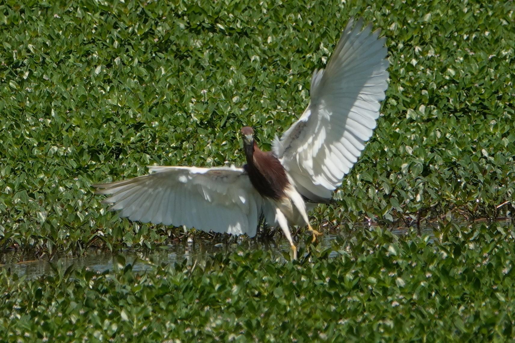アカガシラサギ飛翔7