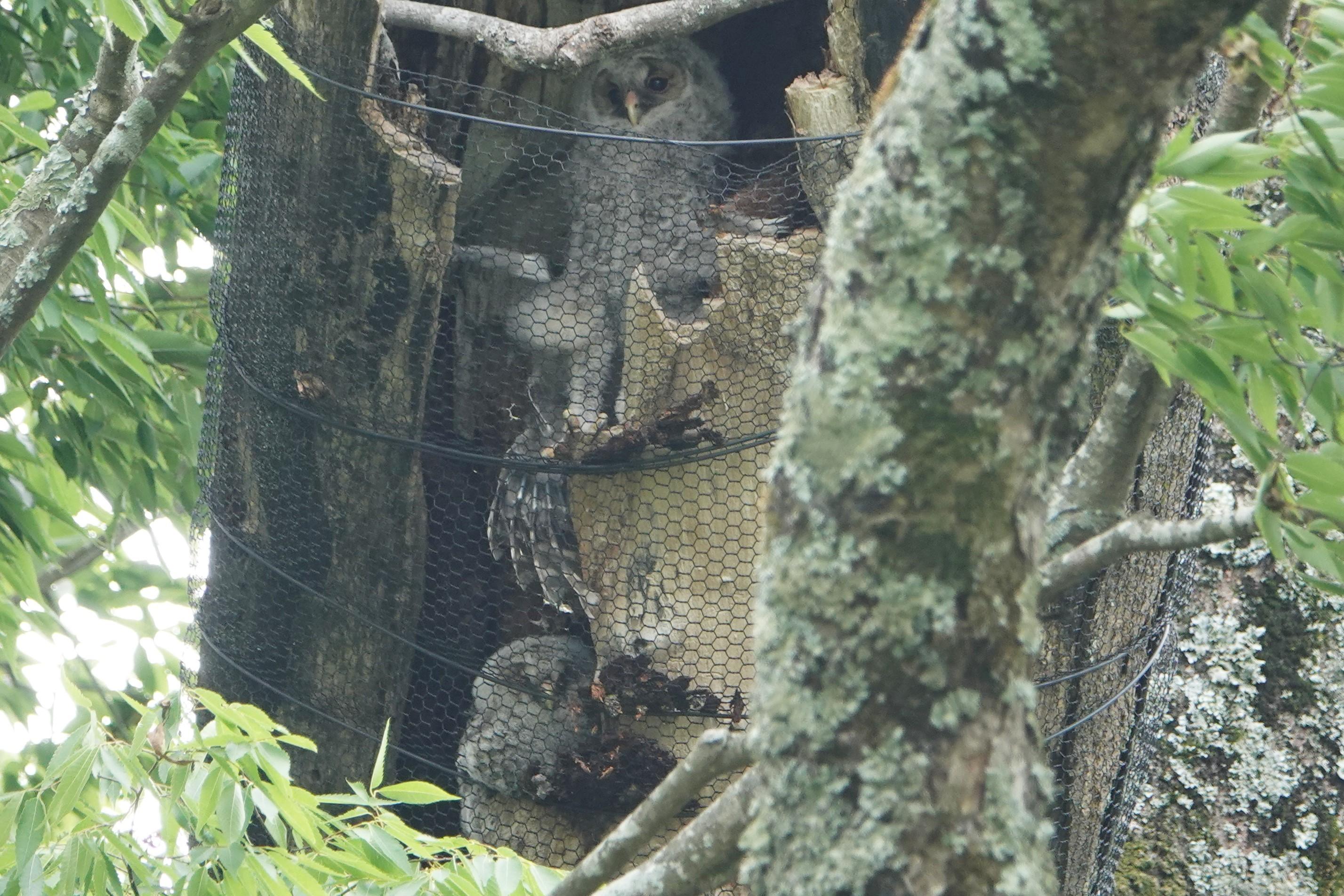 フクロウ巣1