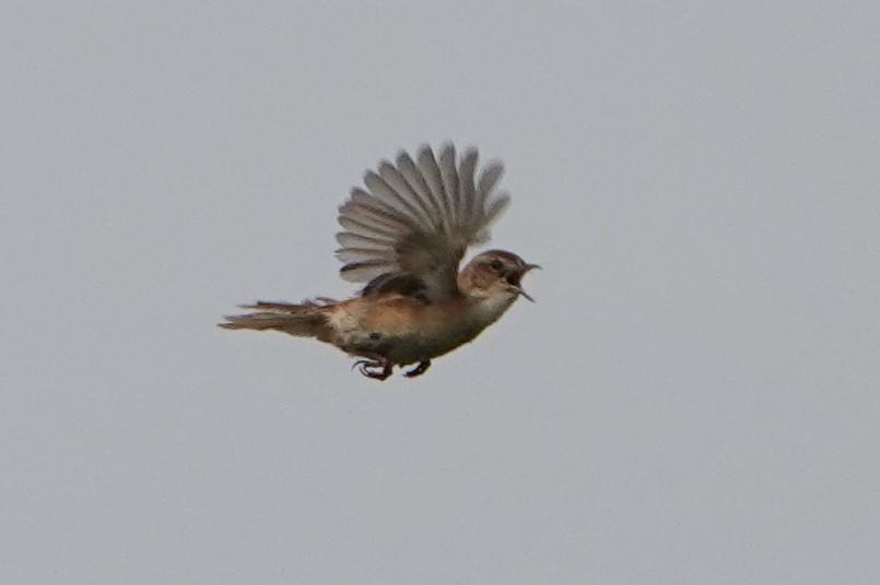 オオセッカ飛翔2