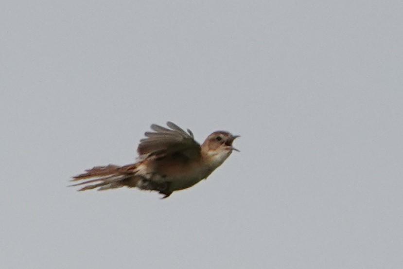 オオセッカ飛翔1