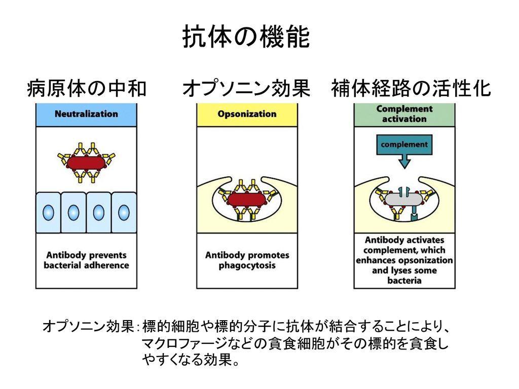 抗体の機能_病原体の中和_オプソニン効果_補体経路の活性化