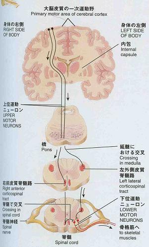 運動neuron