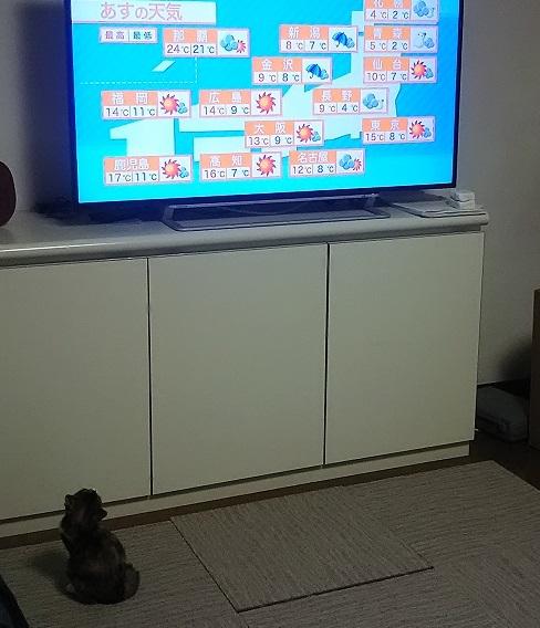 天気予報を見る猫