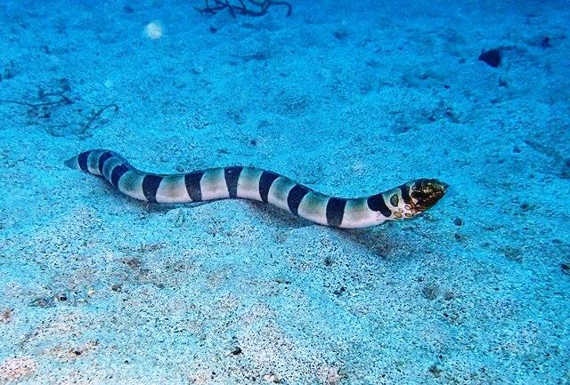イレズミウミヘビ2web