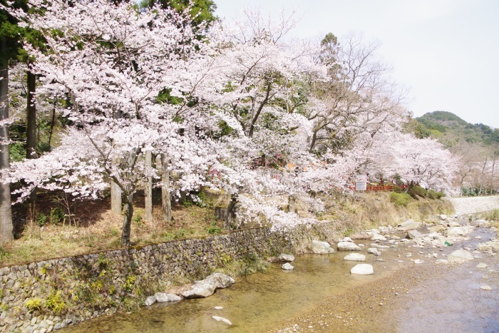 大寧川、桜