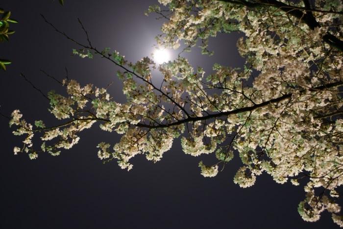 月夜に浮かぶ桜