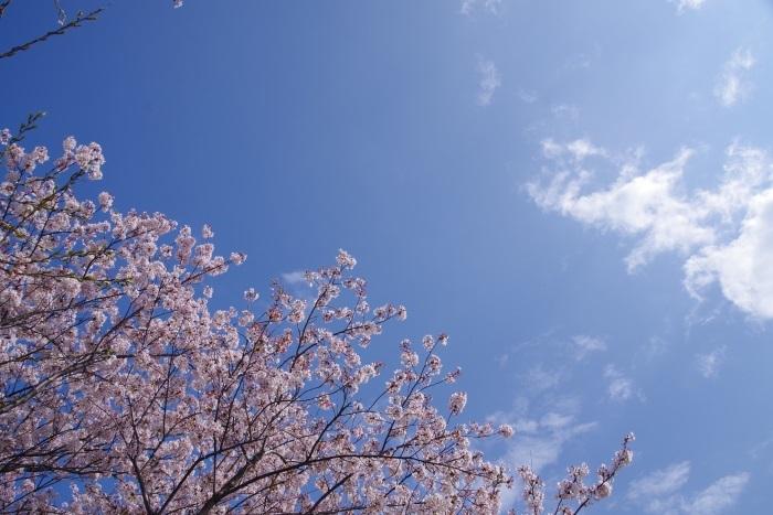 桜の背伸び