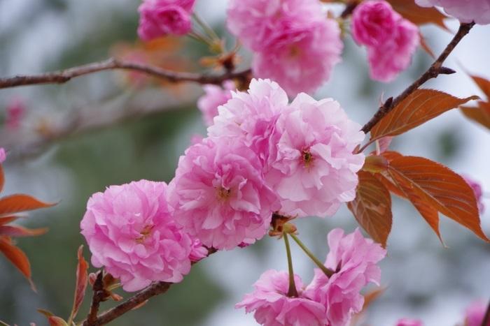笠山八重桜