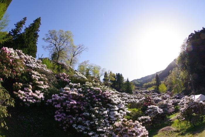 俵山シャクナゲ園