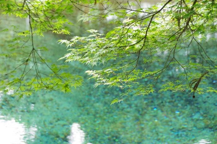 青いもみじと青い池