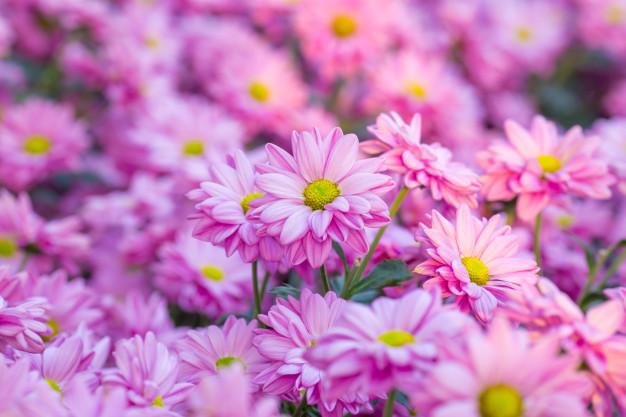chrysanthemum-pink-flowers-in-the-garden_35708-63.jpg