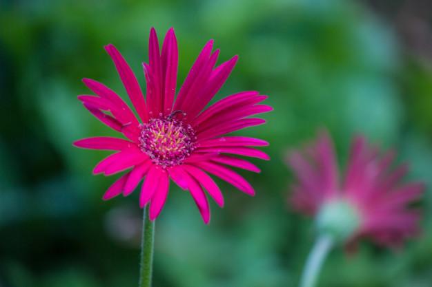 common-sunflowers_7954-250.jpg