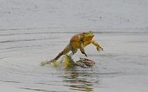カエル跳び