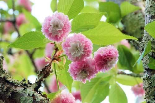 1705桜